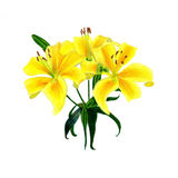Yellow lily hand draw illustration Royalty Free Stock Photos