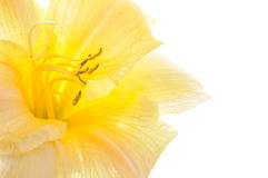 Yellow lily head flower Stock Images