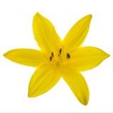 Yellow lily head Stock Photos