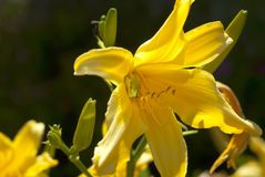 Yellow Lily with Hiding Visitor. Yellow lilies in bright sunlight, with a small green tree frog hiding from either the heat or from predators or both. Deep Royalty Free Stock Photography