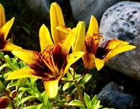 Yellow  Lily. The image of the flower Lily Stock Images