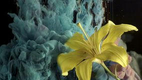 Yellow lily ink in water. Yellow lily and paint in water. Abstract ink in water stock video footage