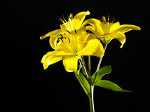 Yellow lily isolated on black background. Flower Stock Images