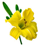 Yellow lily isolated Stock Photography