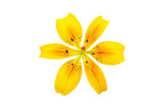 Yellow lily isolated Stock Photo
