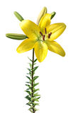 Yellow lily isolated on white Royalty Free Stock Photos