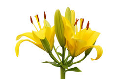 Yellow lily isolated on white background Royalty Free Stock Photos