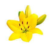 Yellow lily isolated on white background Royalty Free Stock Photo