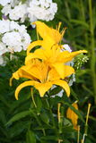 Yellow lily ( lilies ) Royalty Free Stock Photos