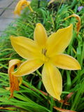 Yellow lily lilies. Yellow lily in drop. Stock Image
