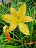 Yellow lily lilies. Yellow lily in drop. Stock Photo