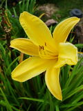Yellow lily lilies. Yellow lily in drop. Stock Photography