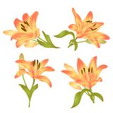 Yellow Lily Lilium candidum,flower with leaves and bud on a white background set first vector illustration editable. Hand drawn Stock Images
