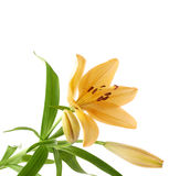 Yellow lily lilium flower isolated Stock Image