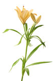 Yellow lily lilium flower isolated Royalty Free Stock Image