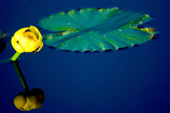 Yellow Lily and Lilypad in Water Royalty Free Stock Photo