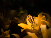 Yellow lily in low key tone Stock Images