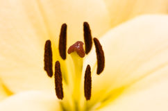 Yellow lily Royalty Free Stock Photo