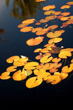 Yellow Lily pads on the surface of a pond. Stock Photos