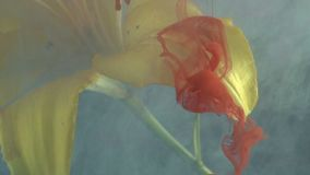 Yellow lily ink in water. Yellow lily and paint in water. Abstract ink in water stock video