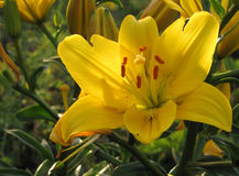 Yellow lily Royalty Free Stock Photos