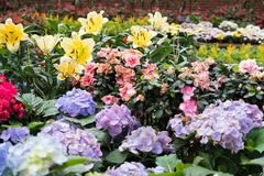 Yellow lily & purple hydrangea flower in garden. blooming flora. Yellow lily & purple hydrangea flower in garden. blooming flora. flowerbed in park. blossom Stock Photos