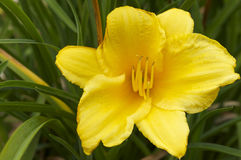 Yellow flower. Yellow lily in the spring stock photography