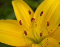 Yellow lily. Stamens and pistil in yellow lily Royalty Free Stock Image