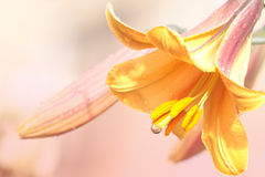 Yellow lily after summer rain. Yellow lily on pink background Royalty Free Stock Image