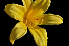 Yellow Lily in the Sunlight Royalty Free Stock Photo