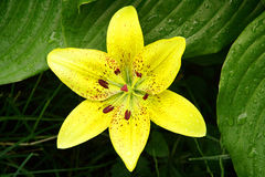 Yellow Lily. Top view of a yellow lily and lily leaves in grass Royalty Free Stock Photography