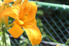 Yellow lily. Vibrant yellow lily in full bloom against a green background Stock Photos