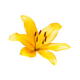 Yellow lily on white background with clipping path Royalty Free Stock Photography