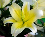 Yellow lily for womens day. Or mothers day Royalty Free Stock Image