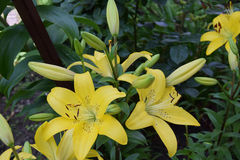 Yellow lilys royalty free stock image