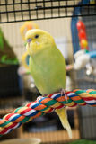 Yellow and lime budgie Stock Photography