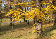 Yellow lime tree. Lime tree with beautiful bright yellow leaves in the park stock photography