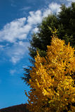Yellow Lime Tree and Blue Sky Stock Photo