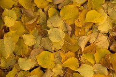 Yellow lime tree leaves background Royalty Free Stock Photo