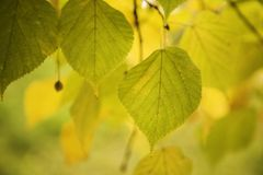 Yellow linden Royalty Free Stock Images