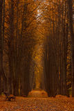 Yellow linden alley overcast autumn day Stock Images