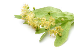 Yellow linden flower. Isolated image of yellow linden flower Royalty Free Stock Images