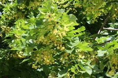 Blooming linden tree closeup in city stock photography
