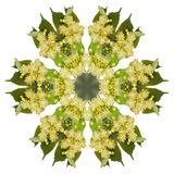 Yellow linden flowers. In the form of a picture of a kaleidoscope Stock Photos