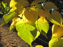 Leaves of lindens glow in the autumn sun. Yellow linden leaves glow in the autumn sun Royalty Free Stock Image