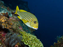 Yellow Lined Sweetlips on USAT Liberty 02 Royalty Free Stock Photos