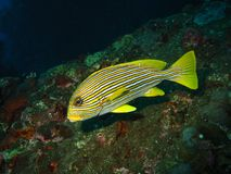 Yellow Lined Sweetlips Stock Images