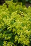 Yellow lion`s foot flowers or ladies-mantle, alchemilla xanthochlora stock photos