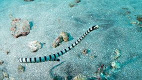 Yellow-lipped sea krait Royalty Free Stock Images
