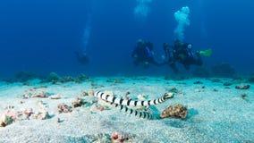 Yellow-lipped sea krait Royalty Free Stock Image